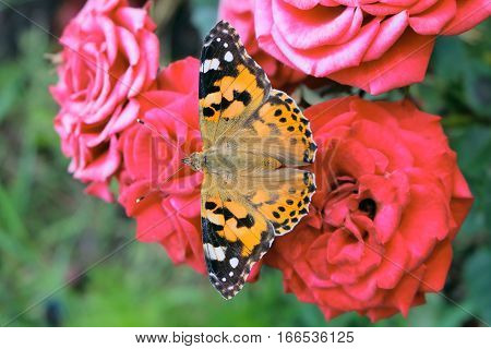 Painted Lady butterfly with spread wings sitting on a flower roses