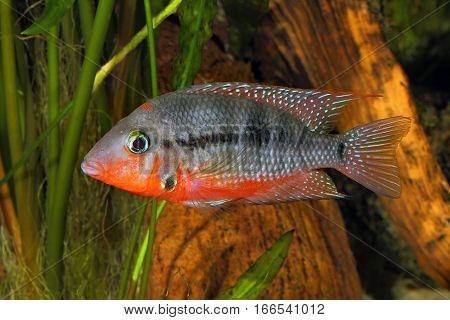 Mexican Fire Mouth (Thorichthys meeki) - female