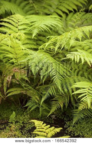 Image of Tree Ferns (Australia, New Zealand)