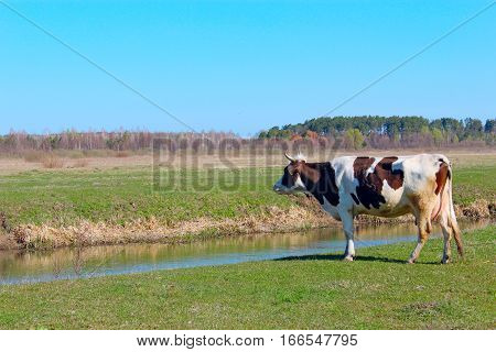 rural cow on the pasture near the river