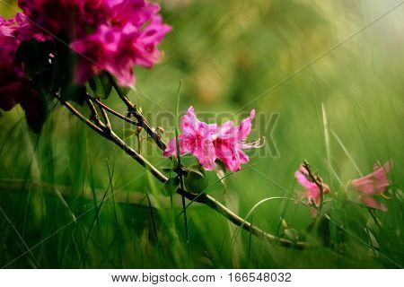 Beautiful Pink Azalea Flowers In Sunny Botanical Gardens