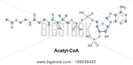 Acetyl coenzyme A is a molecule that participates in many biochemical reactions in protein, carbohydrate and lipid metabolism.