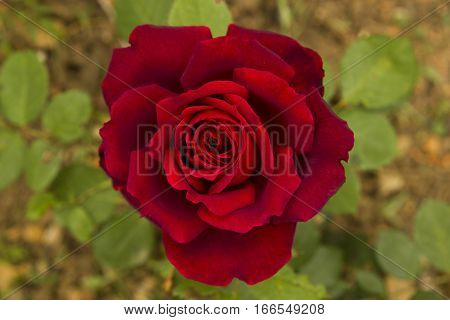 Close up overhead shot of a red rose in full bloom with green background