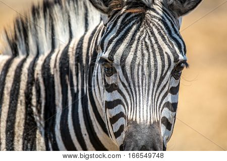 Kuti Wildlife Reserve in Malawi has a big population of zebras. This close up shot was taken on one of the car safaris organised in this game reserve. Zebra is one of the most beautiful african animals.