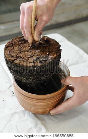 Replanting houseplant. The hand of man pulls a plant from the pot along with the soil.