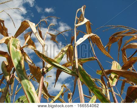 Corn stalks standing tall against blue sky on a bright sunny day