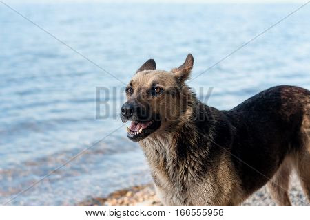 A stray dog walks on the beach brown black color.