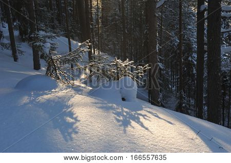Small Fir Trees.