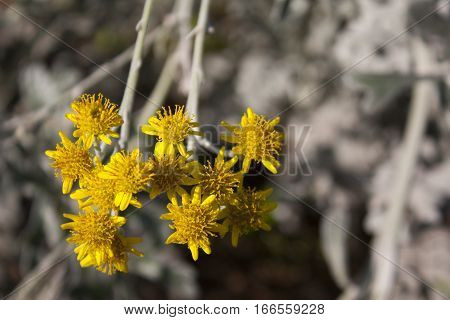 Cluster of Small Yellow Flowers with Blurred Background