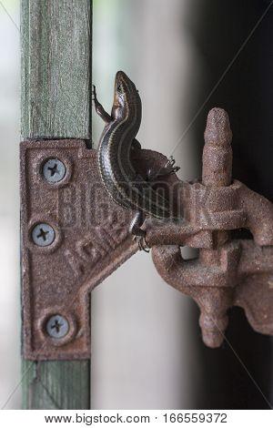 Small Lizard Climbing up Old Door Hinge