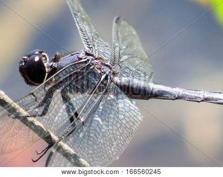 Black dragonfly, close up, on twig. showing head, thorax and partial abdomen