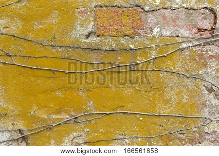 Old Chipping Yellow Painted Red Brick Wall with Vines