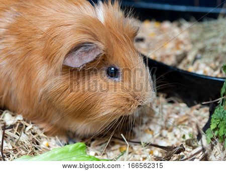 Cute red guinea pig eating salad leaf. Close up.