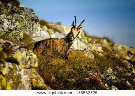 Single chamois sitting in Tatra mountains rocks Poland