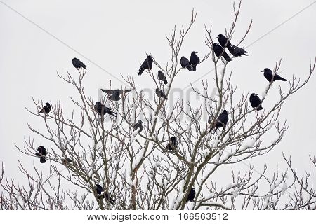 A flock of rooks sitting on a tree in winter Winter. Snow-covered trees with rooks