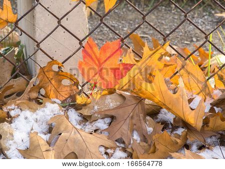 Red maple and orange oak leaves under snow beside chainlink fence in autumn