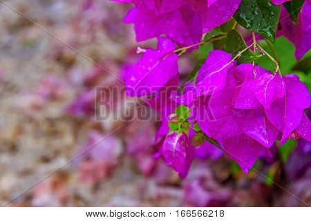 Fresh Bougainvillea blooming beautiful on green leaf and background