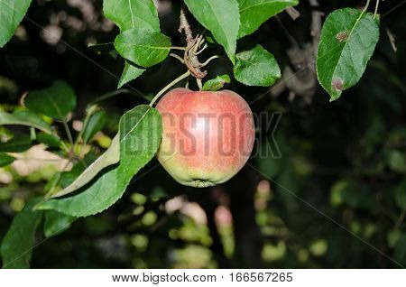 Apple foliage and ripening red fruits in a garden