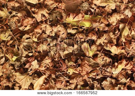 This is a blanketing of Japanese maple leaves during fall and they are dry and curled up and have an interesting texture.