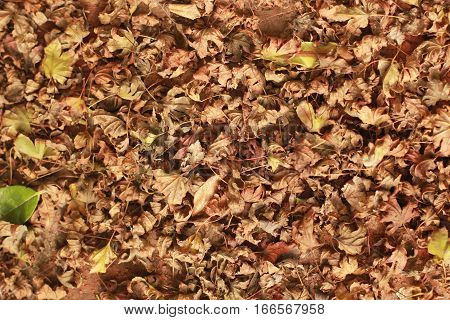 These dried leaves in a blanket on the ground are mostly Japanese maple and are curled up. A few other types of leaves are shown.