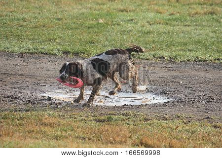 Working Type English Springer Spaniel Pet Gundog With Frisbee In Puddle