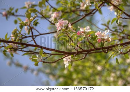 Spring Apple Blossoms. Apple blossoms bloom against a clear blue sky.