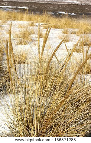 Long yellow grasses showing through patches of snow near the shoreline winter thaw