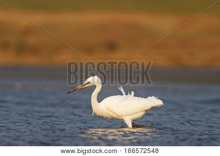 little egret wanders in the blue water white bird bright colors animals