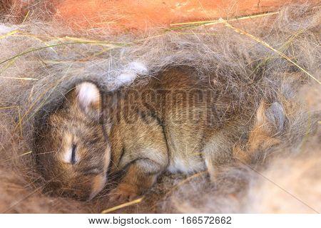 Bunny Sleeps In A Nest Of Hair