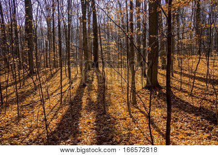 Late fall forest with the ground completely covered in golden orange leaves trees casting shadows