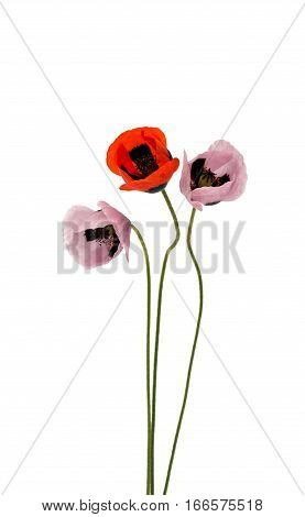 poppy florescence flowers on a white background
