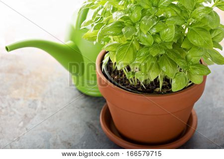 Fresh green basil growing in a pot, herb garden concept