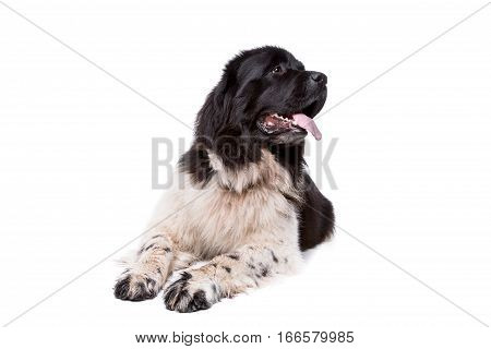 Black And White Newfoundland Dog Or Landseer