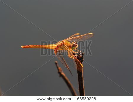 Beautiful dragonflies insects animals nature outdoors catching dragonflies branches.