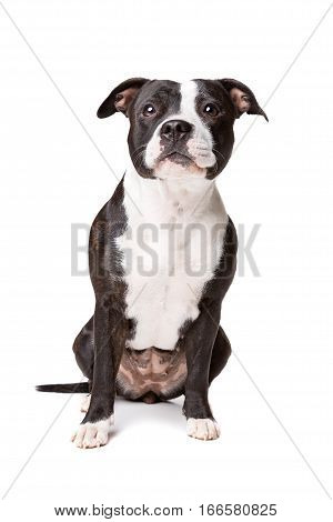 Staffordshire bulterrier dog in front of a white background
