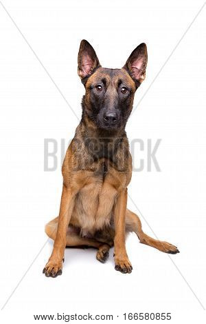 Mechelse Herder, Belgian Shepherd,