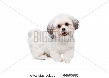 Little White Dog