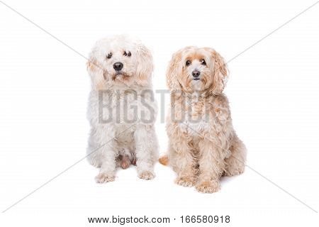 Two Sitting Dogs