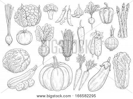 Vegetables sketch cauliflower, tomato and broccoli, onion leek and garlic, bell and chili pepper. Farm harvest vector isolated icons of beet, radish and corn, asparagus, cucumber and chinese cabbage, zucchini squash, pumpkin, carrot and eggplant