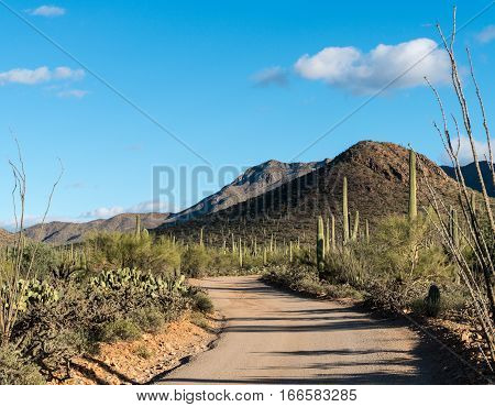 Thousands of saguaro cactus plants in National Park West near Tucson Arizona