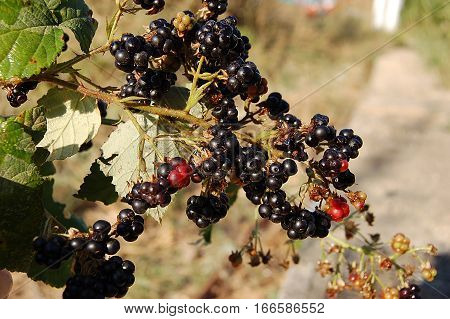 A dark blackberries on the green bush