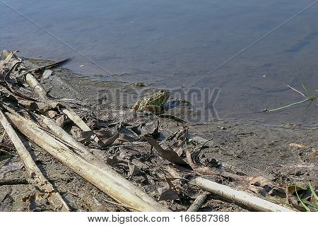 Frog on the bank of a river