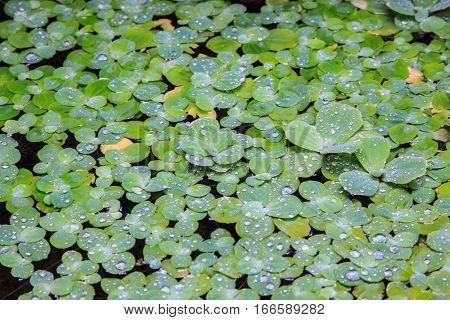 Green duckweed floating on water,  duckweed background