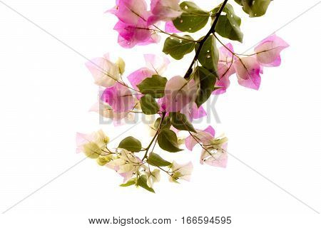 Bougainvillea isolated. beautiful pink flower and green leaf