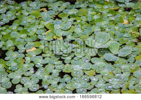 Close up floating green duckweed in water