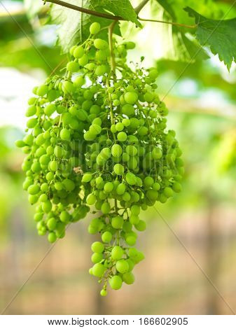 Wine green grapes in vineyard on a sunny day greenery tone 2017