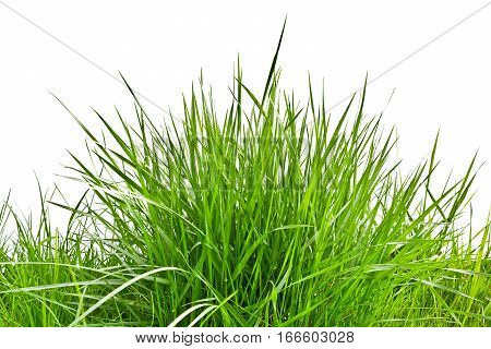 Clump of fresh spring grass Isolated on white background