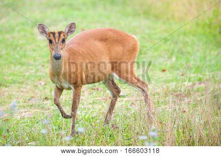 Barking deer in a field of grass Khao Yai National Park