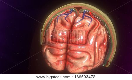 The meninges refer to the membranous coverings of the brain and spinal cord.