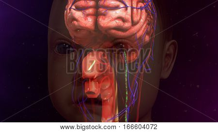 The human brain is the command center for the human nervous system. It receives input from the sensory organs and sends output to the muscles.